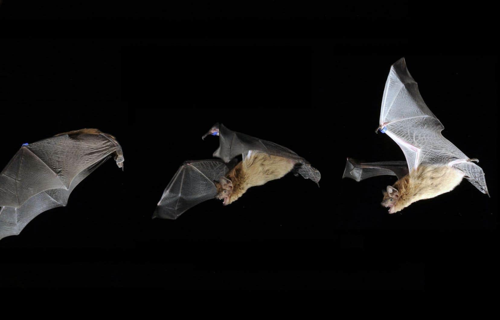 Au Québec, ce sont la petite chauve-souris brune, la chauve-souris nordique et la pipistrelle de l'Est, trois espèces cavernicoles, qui sont les plus affectées par cette infection fongique.