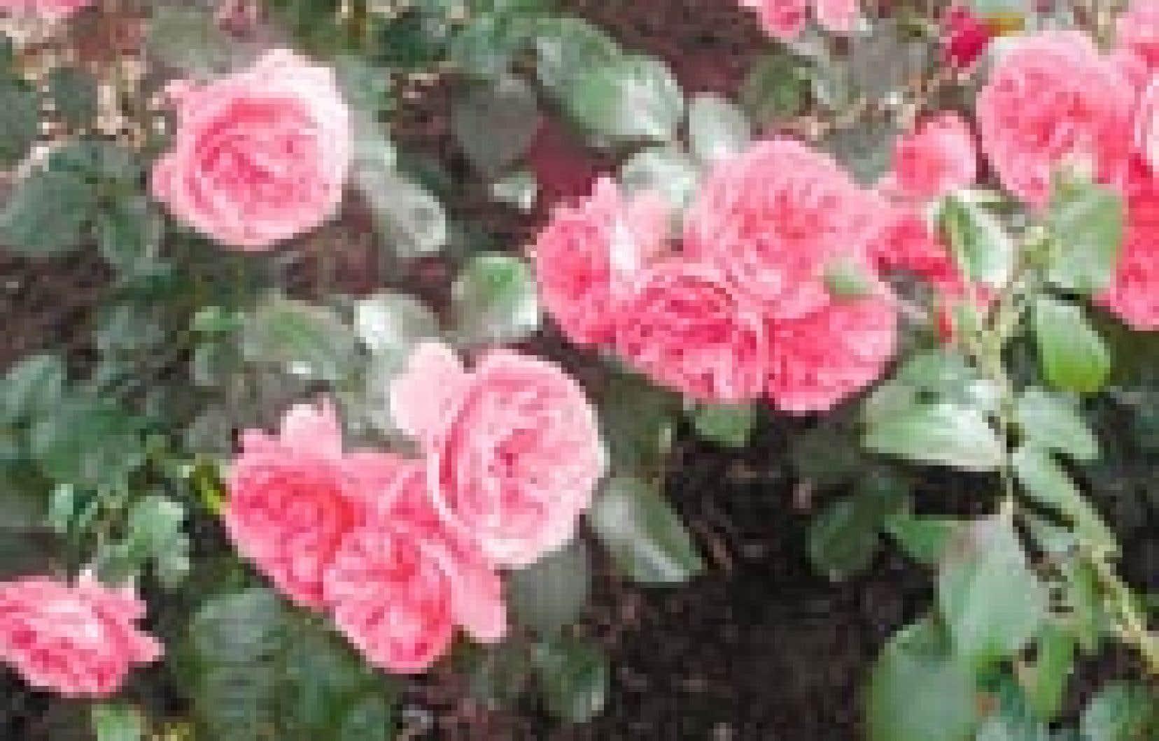 jardins rose rosae rosis le devoir. Black Bedroom Furniture Sets. Home Design Ideas