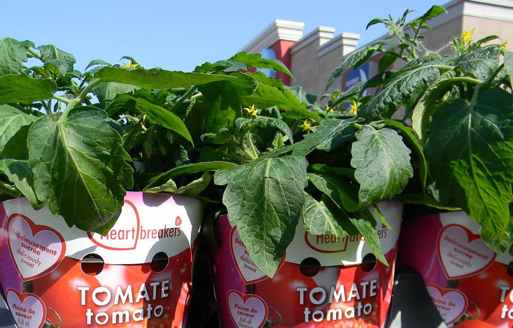Planter Des Tomates En Pot cultiver ses tomates | le devoir