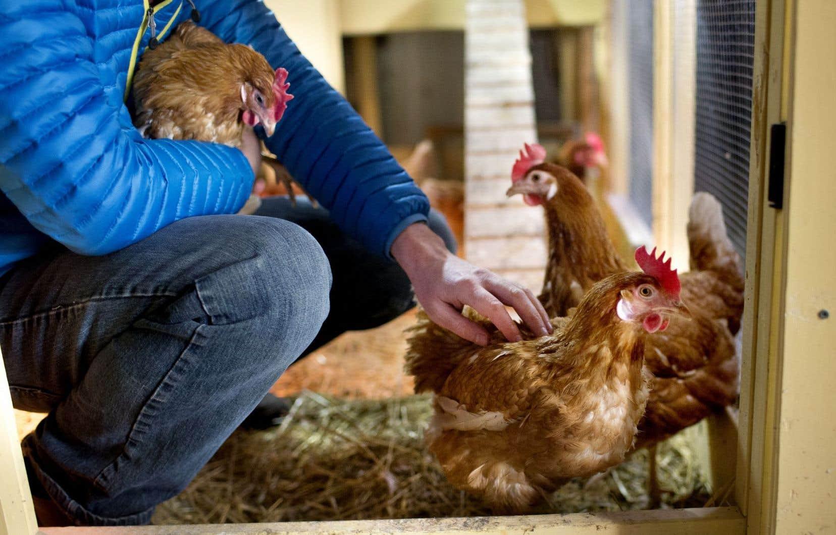 Cette nouvelle réglementation fait suite à des demandes faites auprès des élus de l'arrondissement par des citoyens qui souhaitaient garder des poules.
