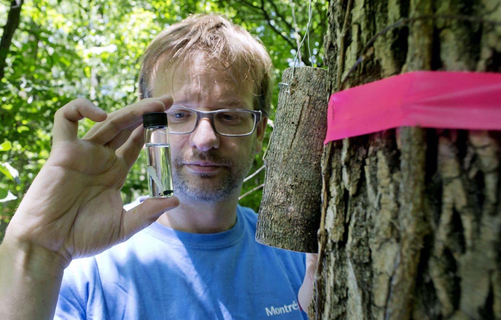 Les bûchettes contenant les larves de guêpes sont suspendues à des frênes malades. Elles pondront leurs œufs dans les larves d'agrile (dans le flacon sur notre photo).