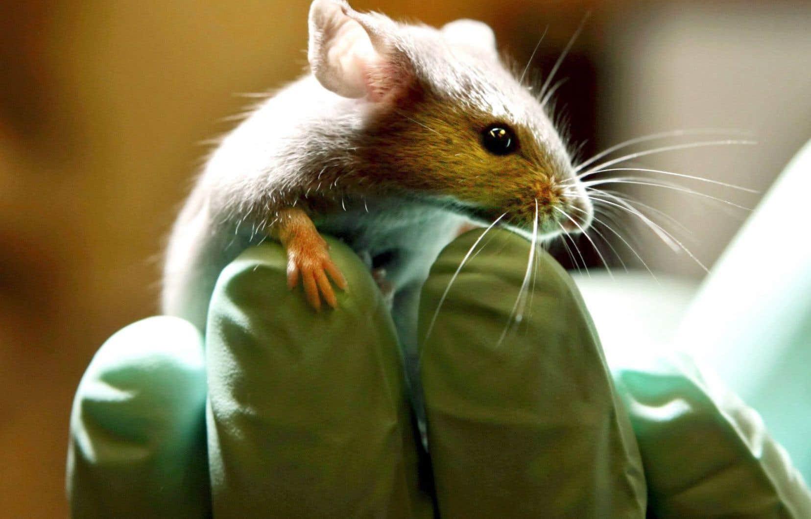 Des chercheurs ont réussi à restaurer l'ouïe de souris atteintes de surdité héréditaire.