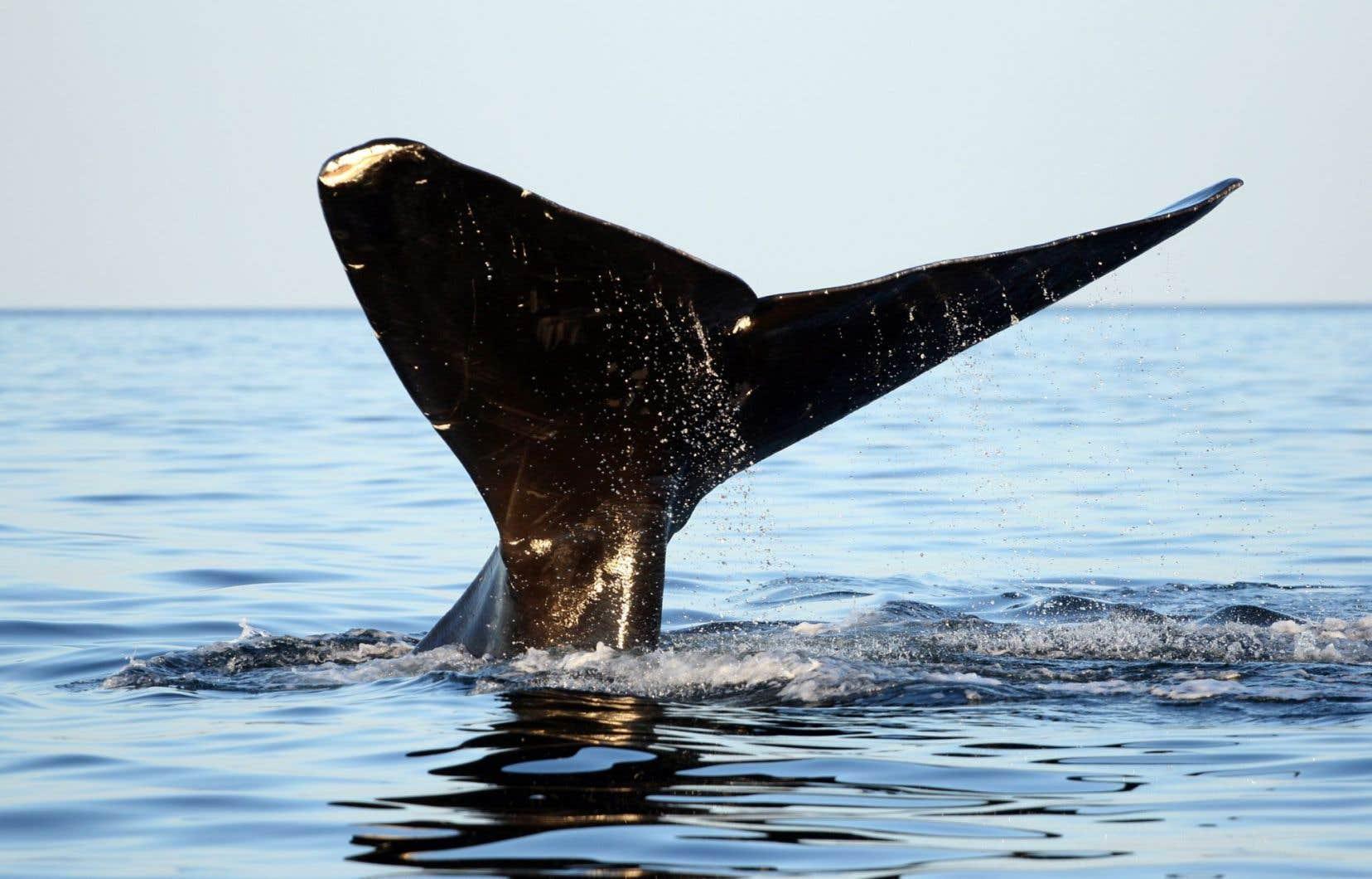 La baleine noire est mal adaptée à l'activité humaine et a de la difficulté à éviter les bateaux.