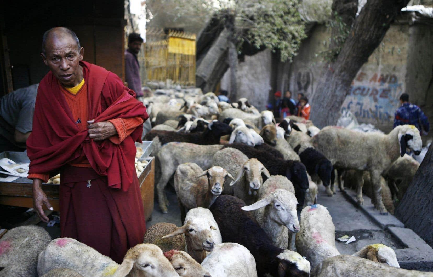 Un moine bouddhiste avec son troupeau de moutons à Leh, dans l'État Jammu-et-Cachemire du Ladakh, en Inde.