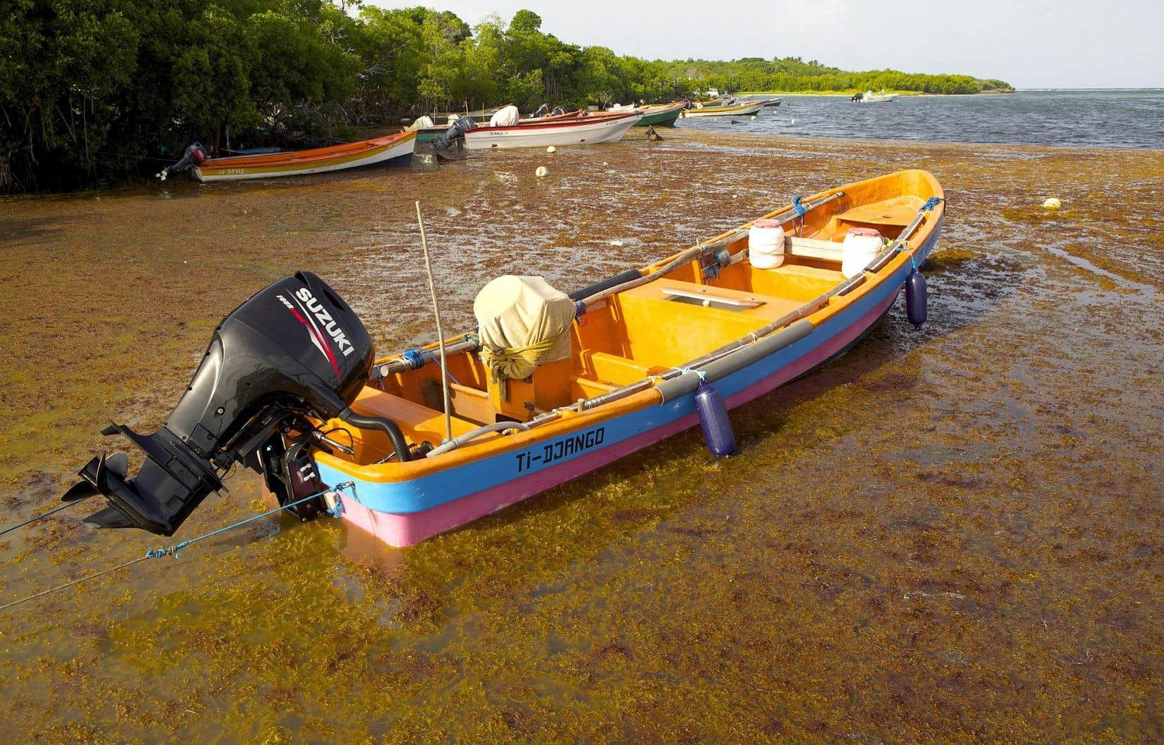 Une plage de la commune de Sainte-Anne, en Martinique, envahie par des sargasses, des algues qui dégagent une odeur nauséabonde.