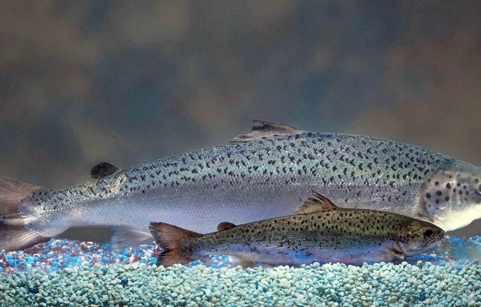 Deux saumons du même âge, celui en arrière-plan étant génétiquement modifié
