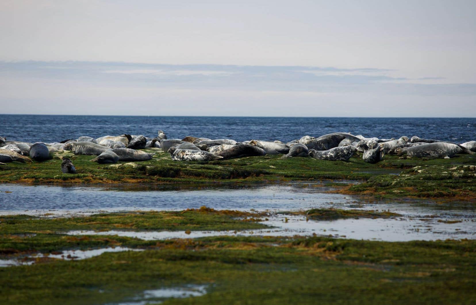 Échouerie de phoques gris à Anticosti