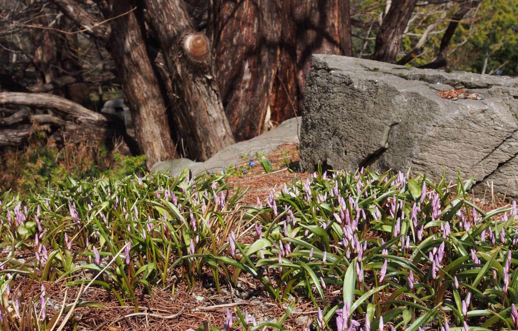 La plupart des petits bulbes printaniers ont la faculté de se pérenniser et de former de belles colonies qui ensoleillent le jardin dès les premières douceurs. Ici, une colonie de gloire des neiges.