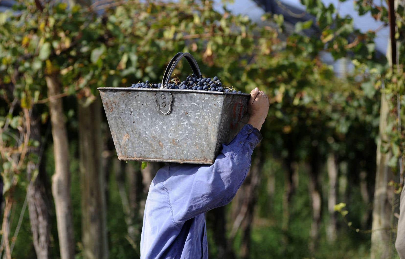 Un travailleur agricole dans un vignoble de la province de Mendoza, en Argentine