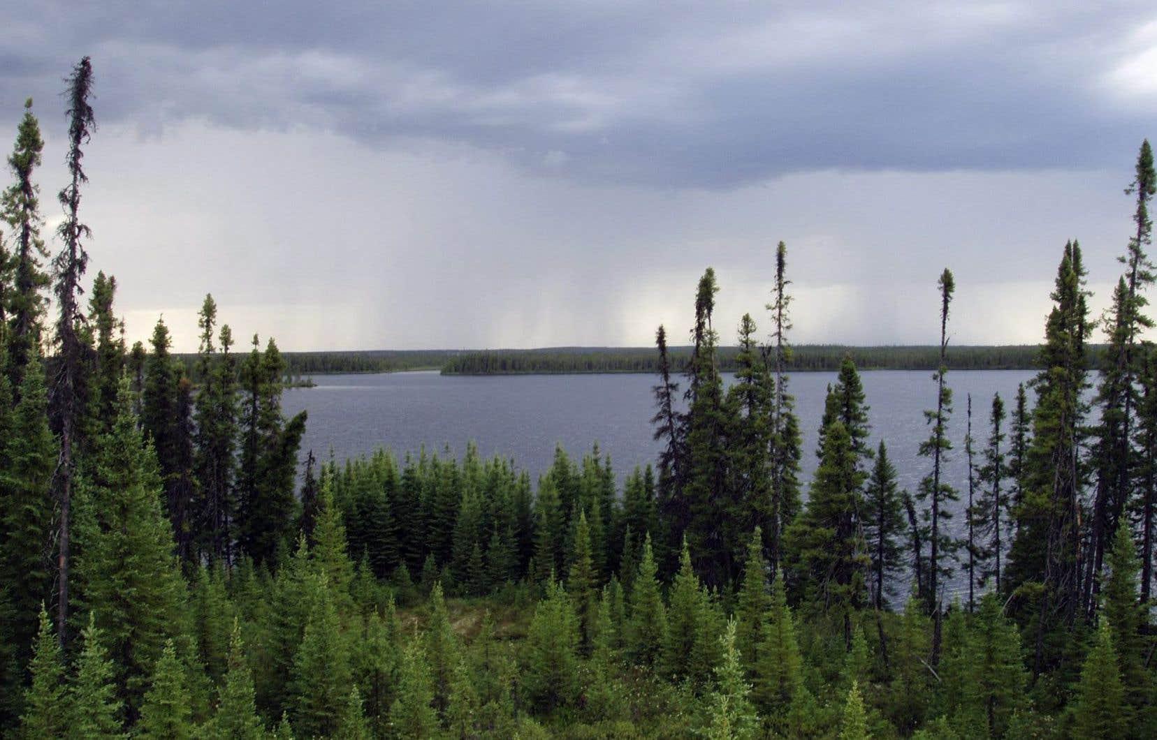 L'épidémie de tordeuses des bourgeons de l'épinette est maintenant bien présente dans «plusieurs régions», y compris dans les forêts du Saguenay–Lac-Saint-Jean, du Bas-Saint-Laurent et de la Gaspésie.
