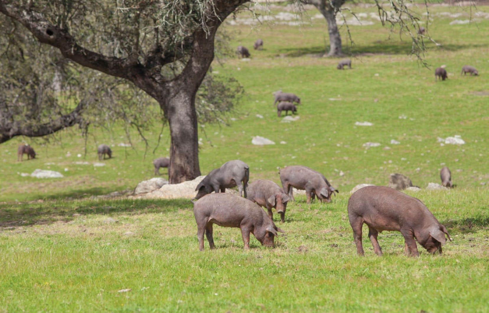 Cette image bucolique de cochons noirs en liberté n'a malheureusement rien à voir avec la réalité des élevages industriels. Le journaliste Aymeric Caron nous rappelle que, de tous les animaux d'élevage, le cochon est le plus proche de l'homme.