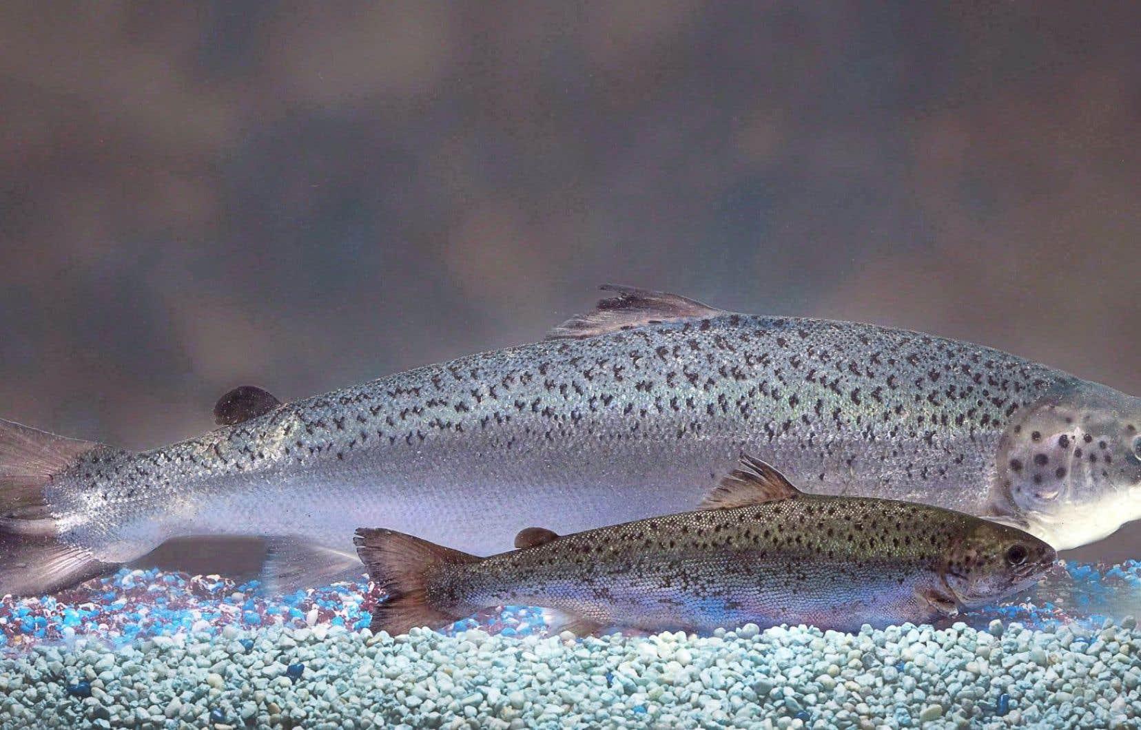Le saumon en cause a été conçu par AquaBounty Technologies pour favoriser une croissance rapide lors des premiers stades de la vie du poisson. Sur notre photo, les deux saumons ont le même âge.