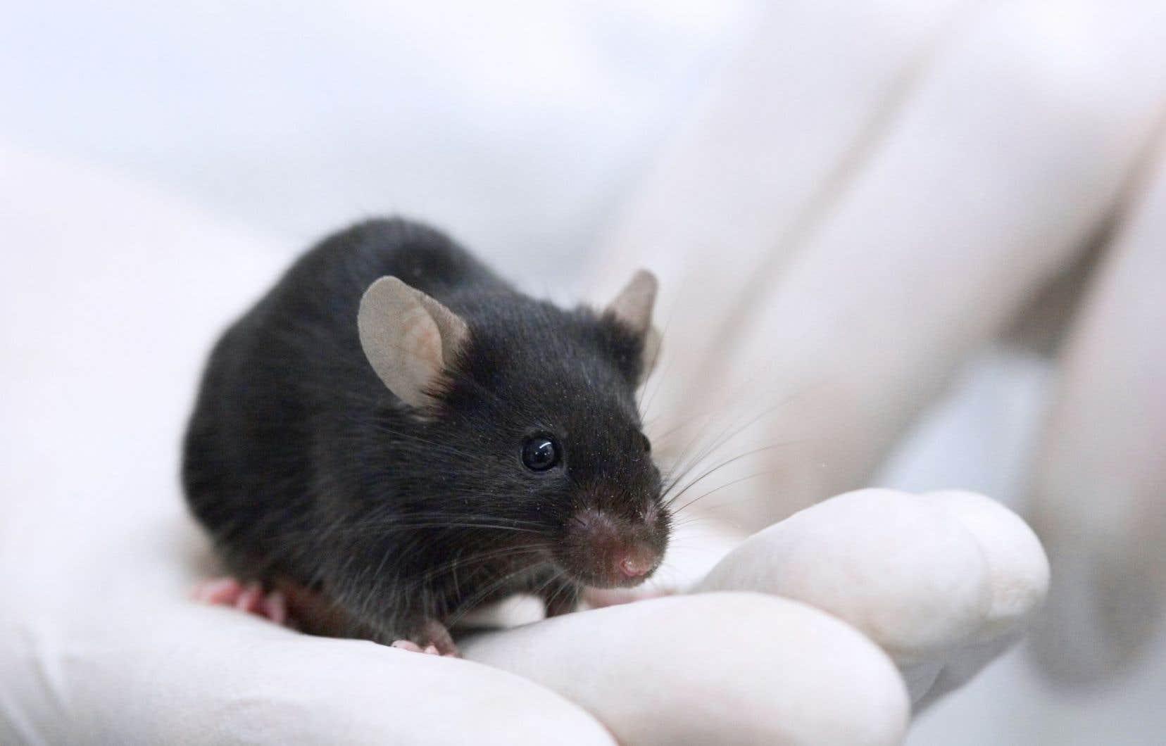 Les organoïdes pourraient, à long terme, se substituer à l'expérimentation animale.