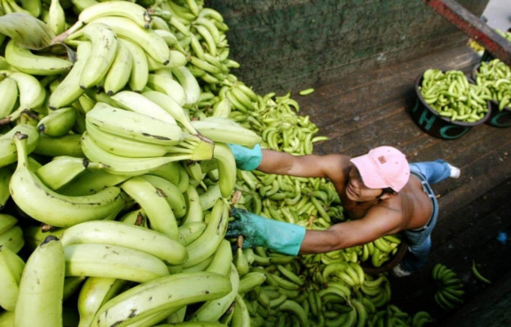 En 2008, les pays de la région Afrique-Caraïbes-Pacifique avaient exporté quelque 920 000 tonnes de bananes vers l'UE contre 3,9 millions de tonnes exportées par les grands producteurs tels que l'Équateur, le Brésil, le Costa Rica, le Guatemala, le Honduras...