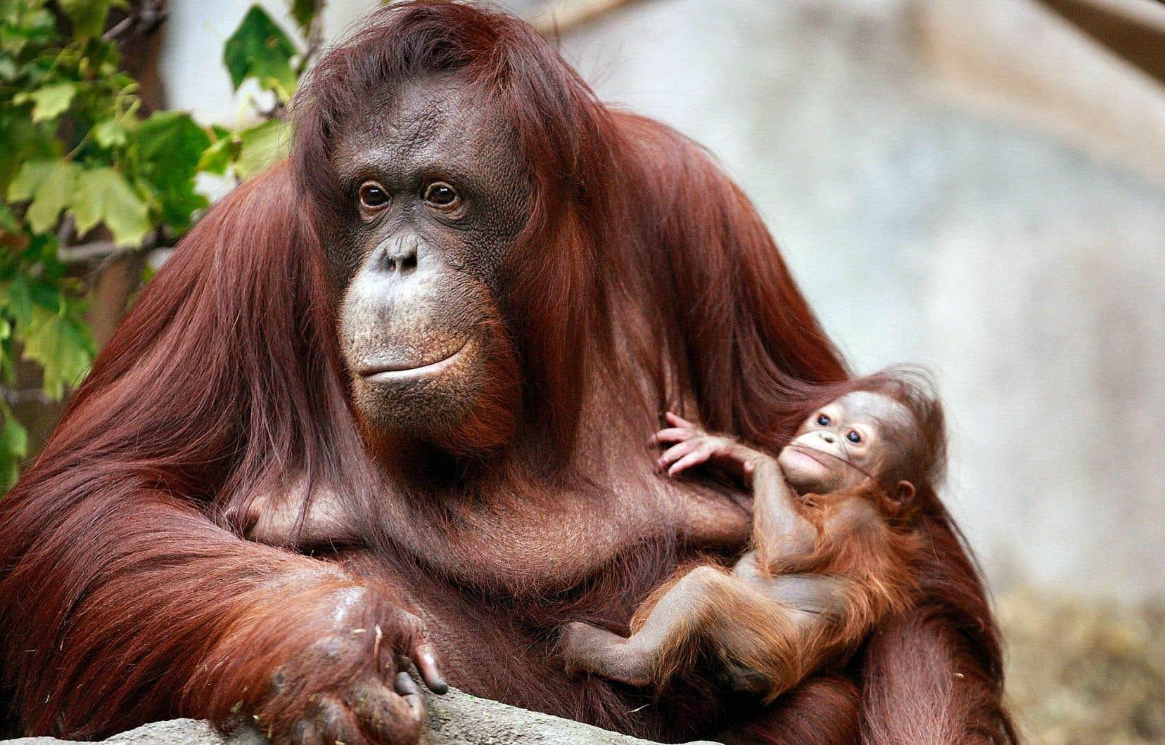 Une mère orang-outang et son petit