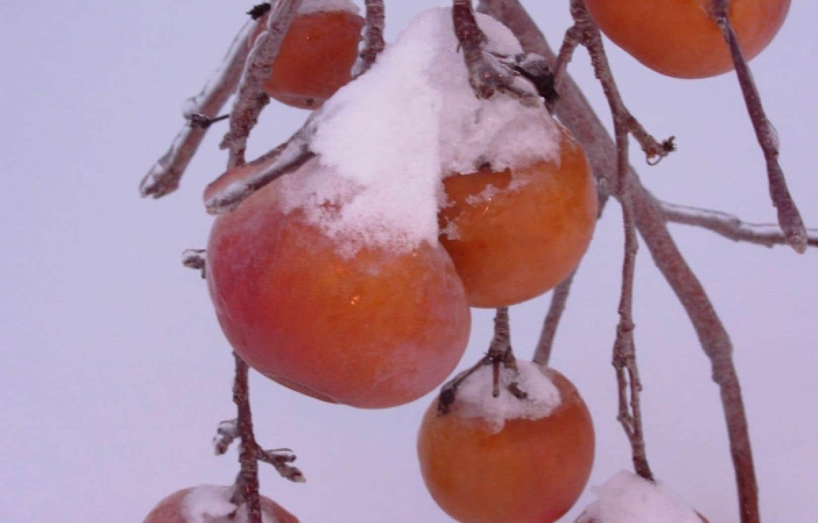 Cueillette de pommes gelées
