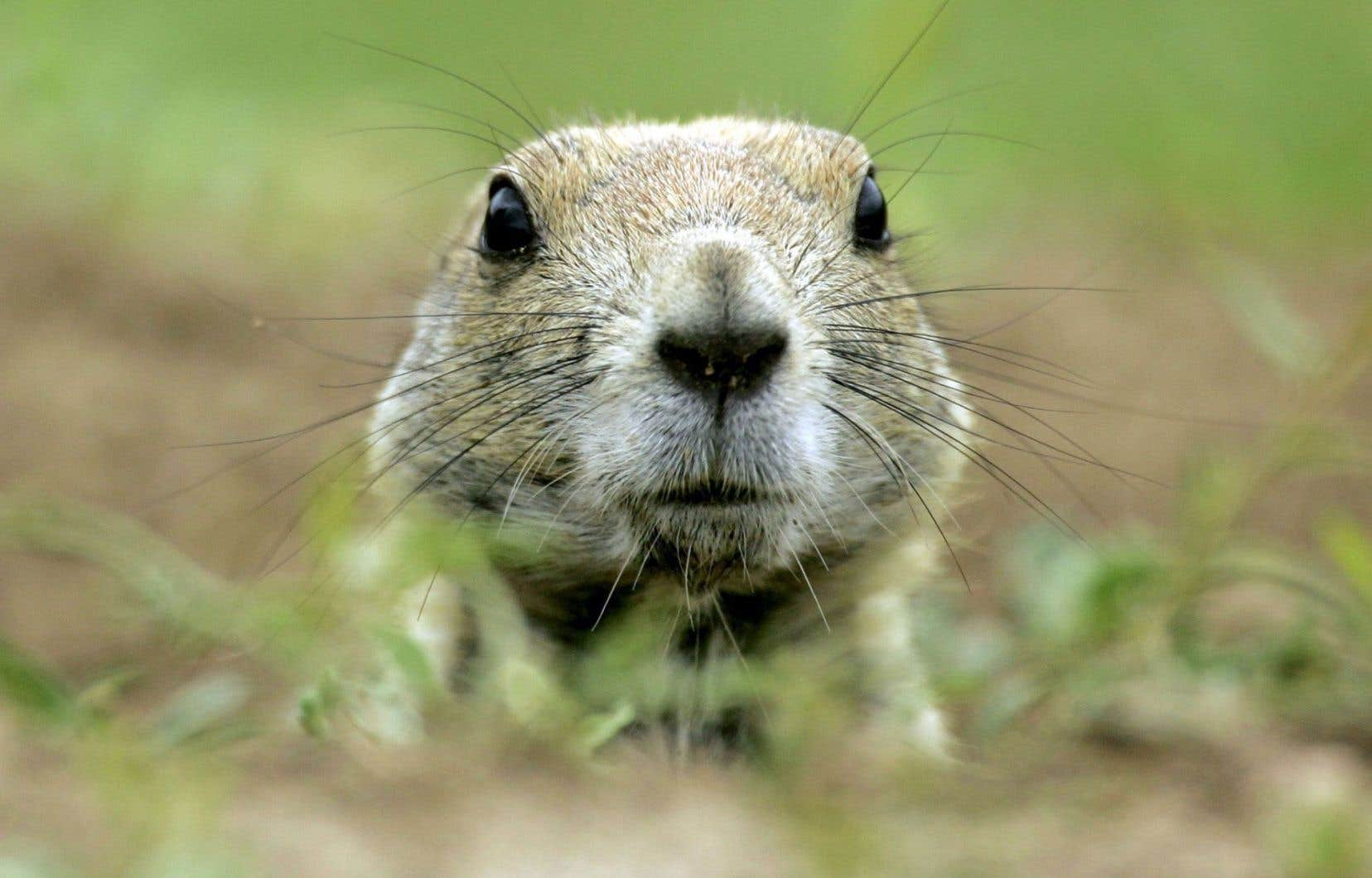 Le terme «lemming» désigne différents petits rongeurs qui vivent la plupart du temps dans les régions arctiques.