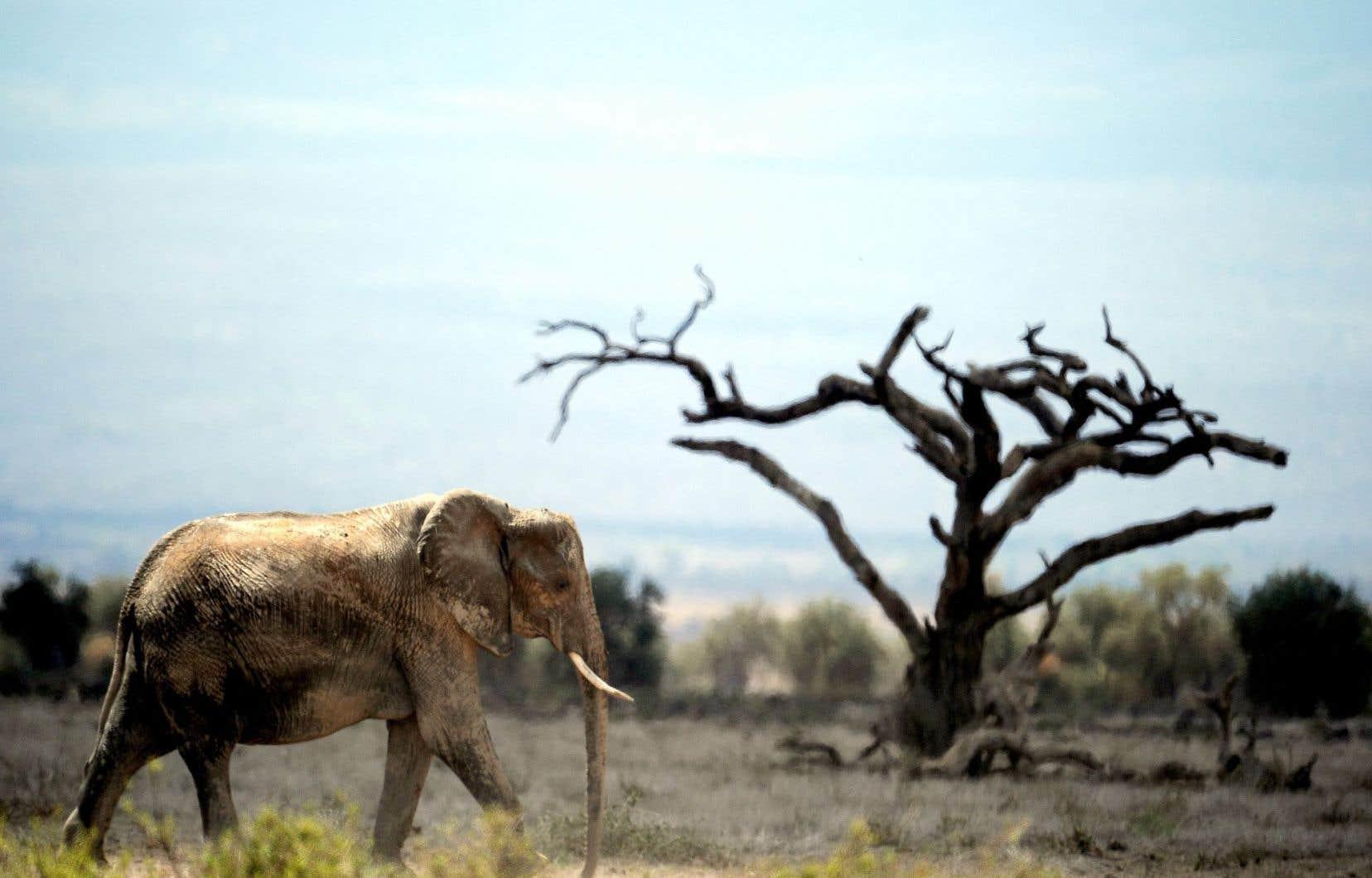 La situation est particulièrement préoccupante en Afrique subsaharienne et en Asie du Sud-Est, deux régions du monde qui hébergent la plus grande diversité de la «mégafaune» existante.