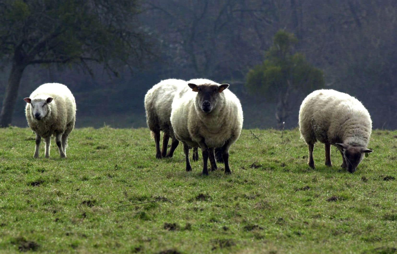 La chercheuse Thelma Rowell montre les moutons comme «des êtres sociaux sophistiqués».