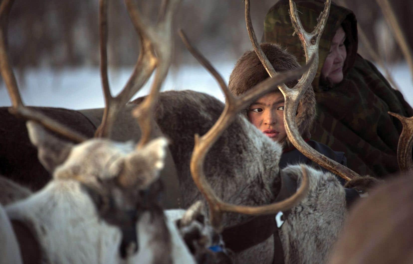 Près de 160 éleveurs de rennes nomades ont été évacués et plus de 2300 rennes contaminés sont morts.
