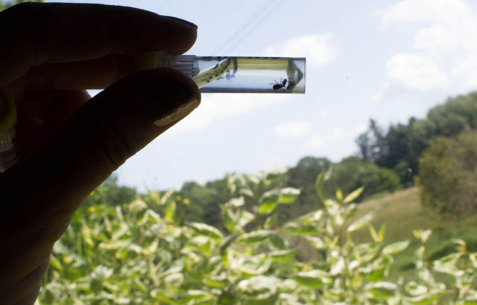 Une tique à pattes noires, capturée la veille par le chercheur Idalberto Machado, est préservée dans le formol.