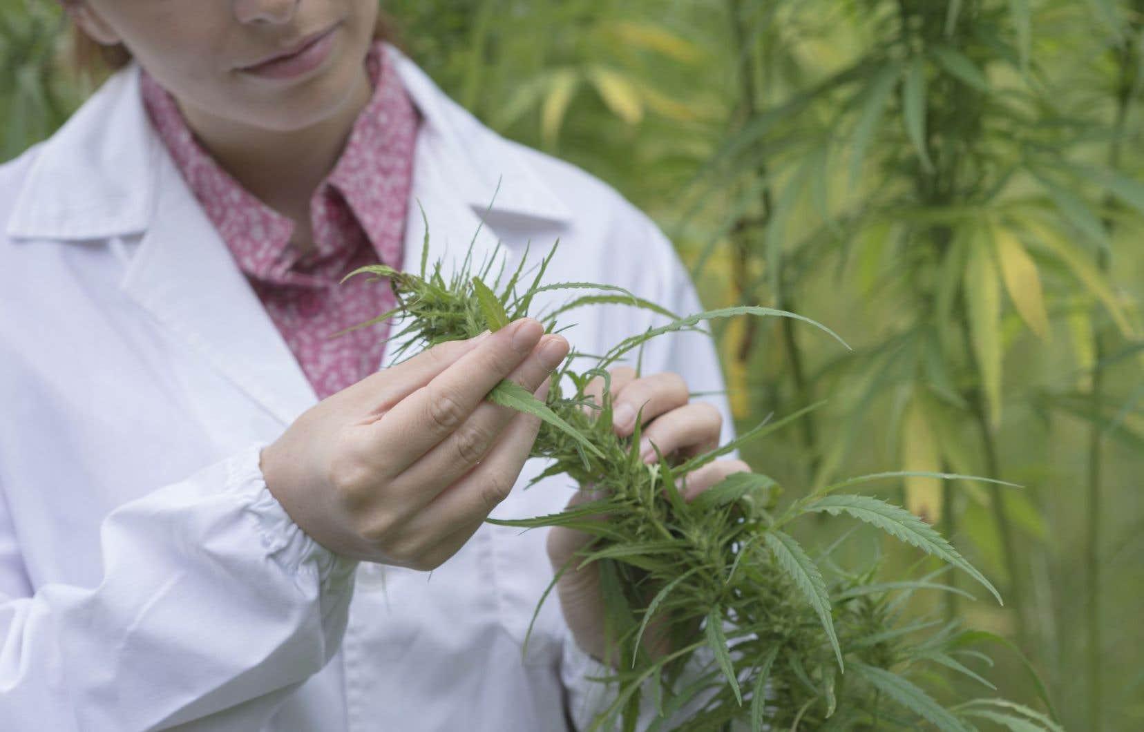 Un essai clinique qui sera mené au CRCHUM vise à savoir si le cannabidiol est efficace pour aider les toxicomanes à se libérer de leur dépendance à la cocaïne.