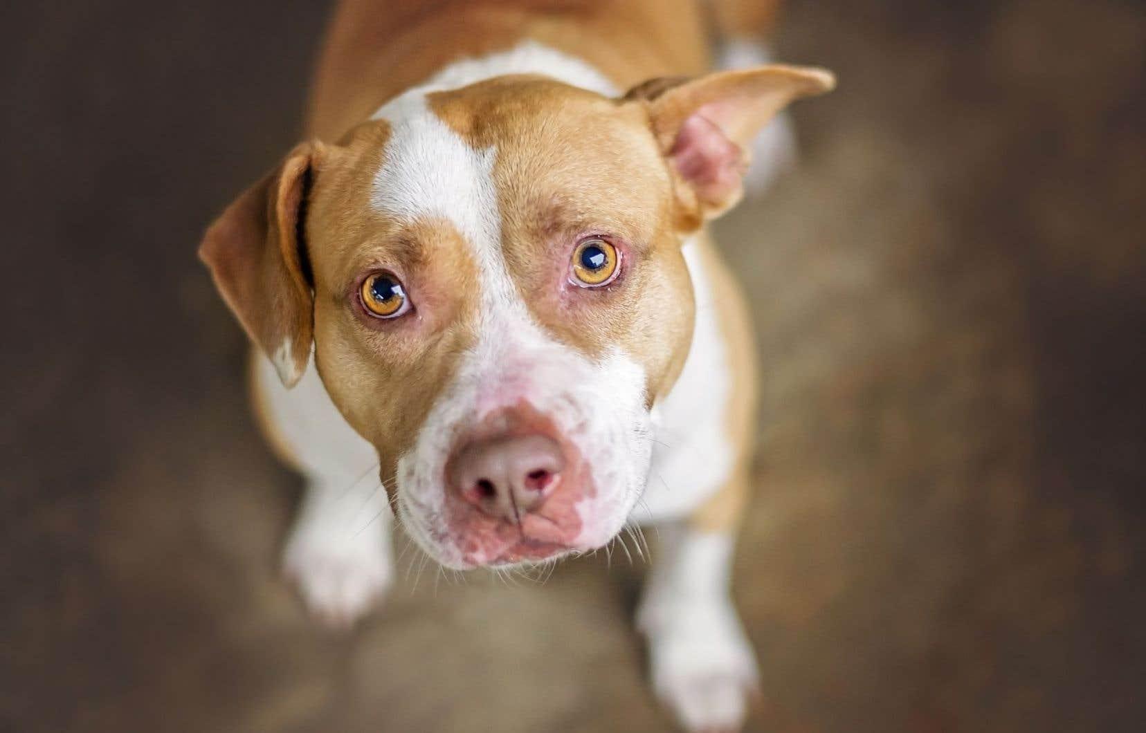 Jusqu'ici, cinq pitbulls ont été envoyés en Saskatchewan grâce à un partenariat entre l'organisme Prairie Sky Dog Rescue et un refuge montréalais.