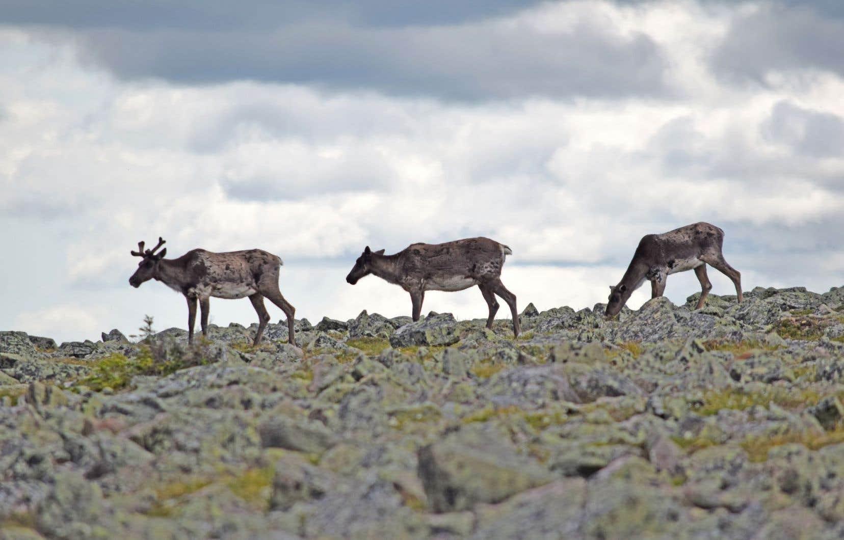 Des caribous forestiers