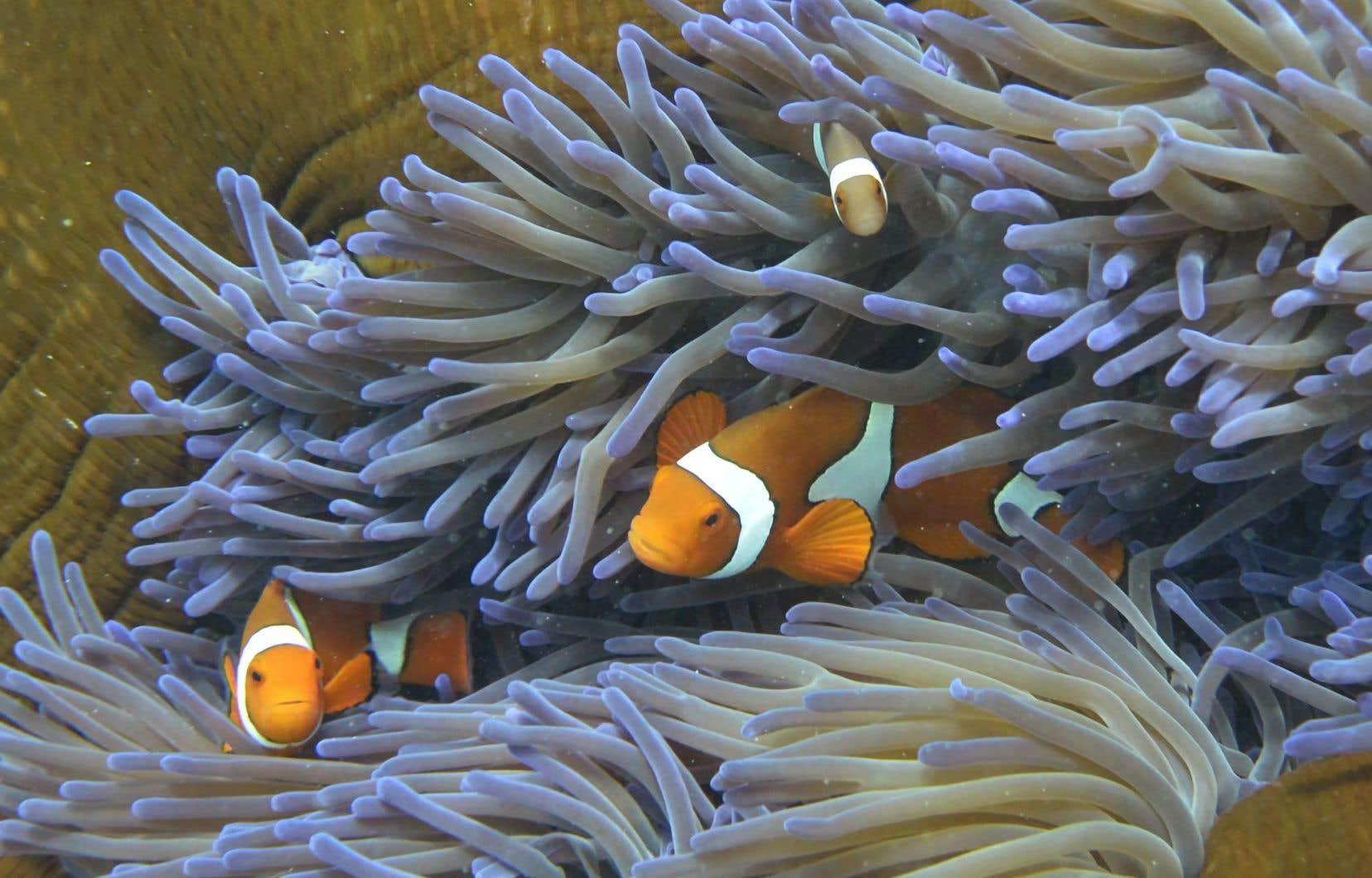 L'état de santé de la Grande barrière de corail ne cesse de se détériorer.