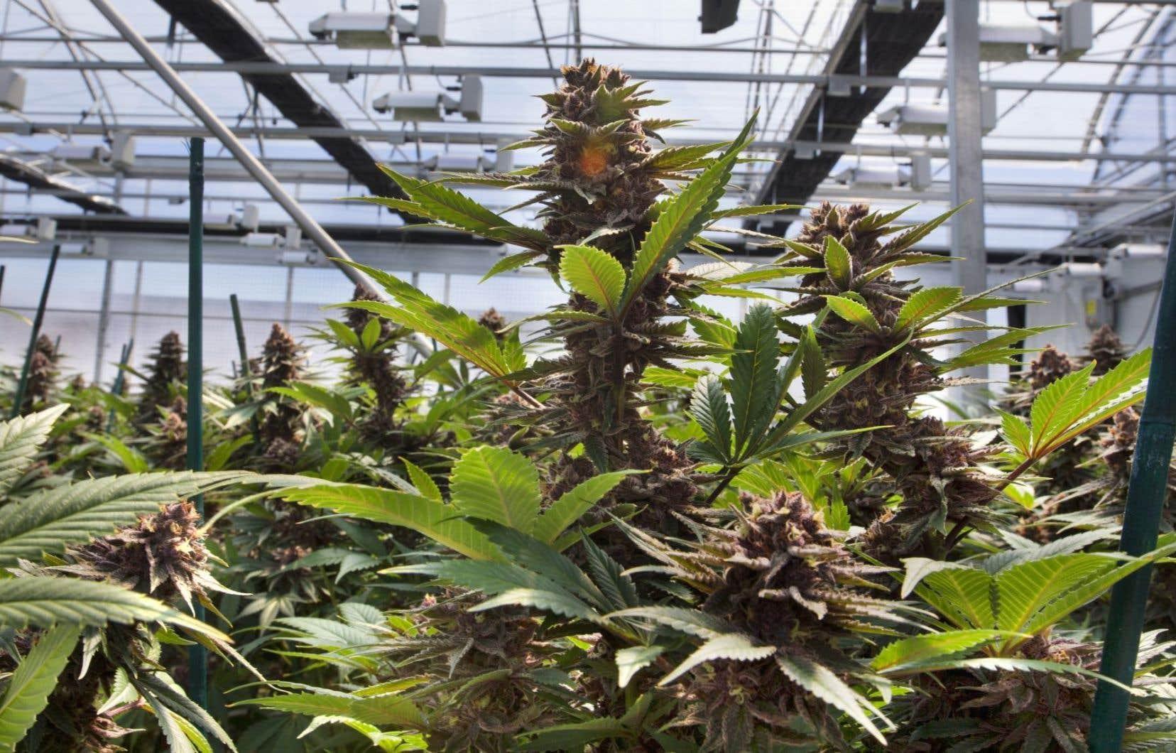 La vente de cannabis par le monopole d'État remettrait des redevances de 457 millions au gouvernement du Québec dès la première année de la légalisation, estime l'IRIS.