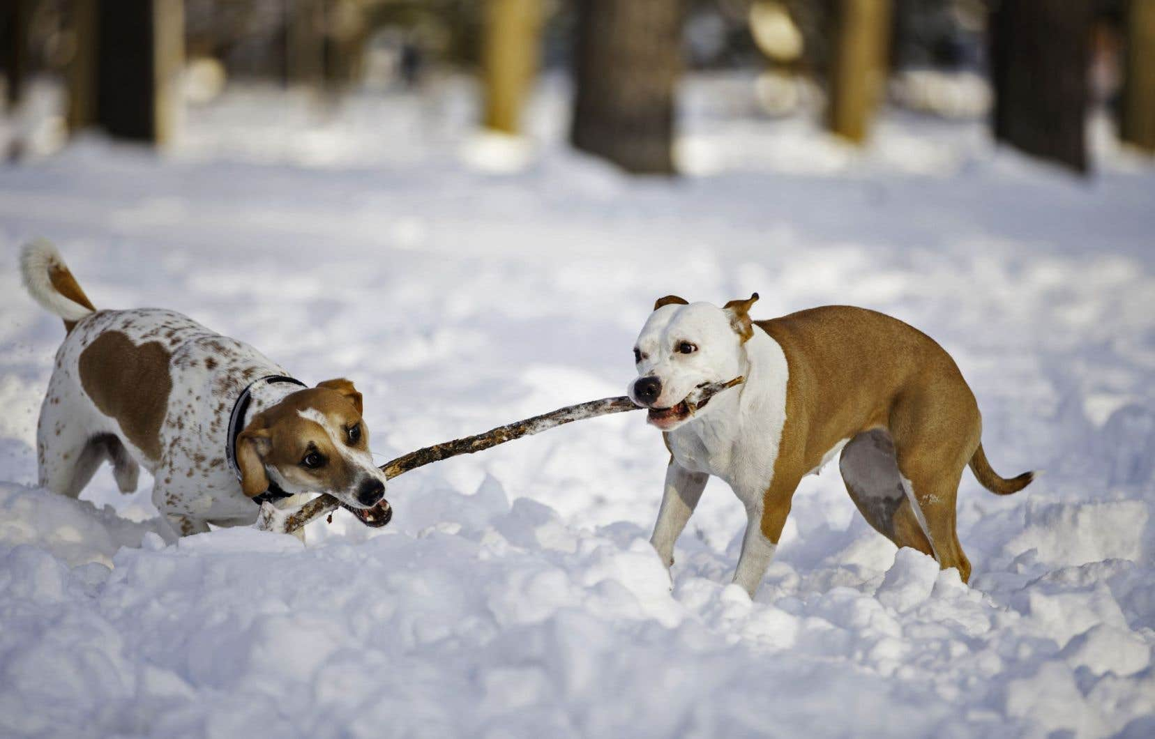 La SPCA dit recevoir chaque année plus de 2000 chiens abandonnés, errants ou qui ont été saisis.