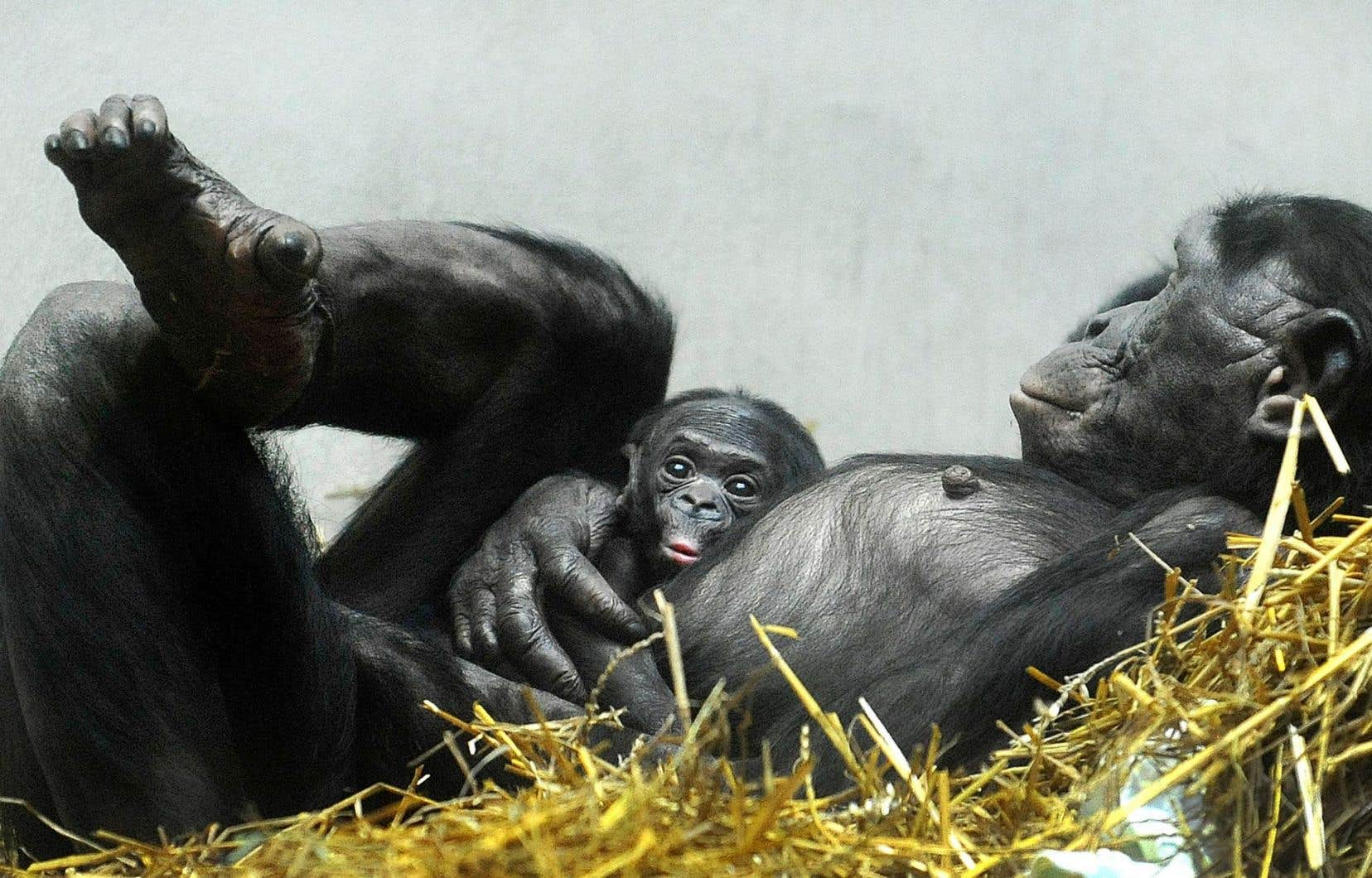 Frans de Waaldécrit précisément et malicieusement les chimpanzés et les bonobos (sur notre photo), montrant à quel point ils sont proches des humains.