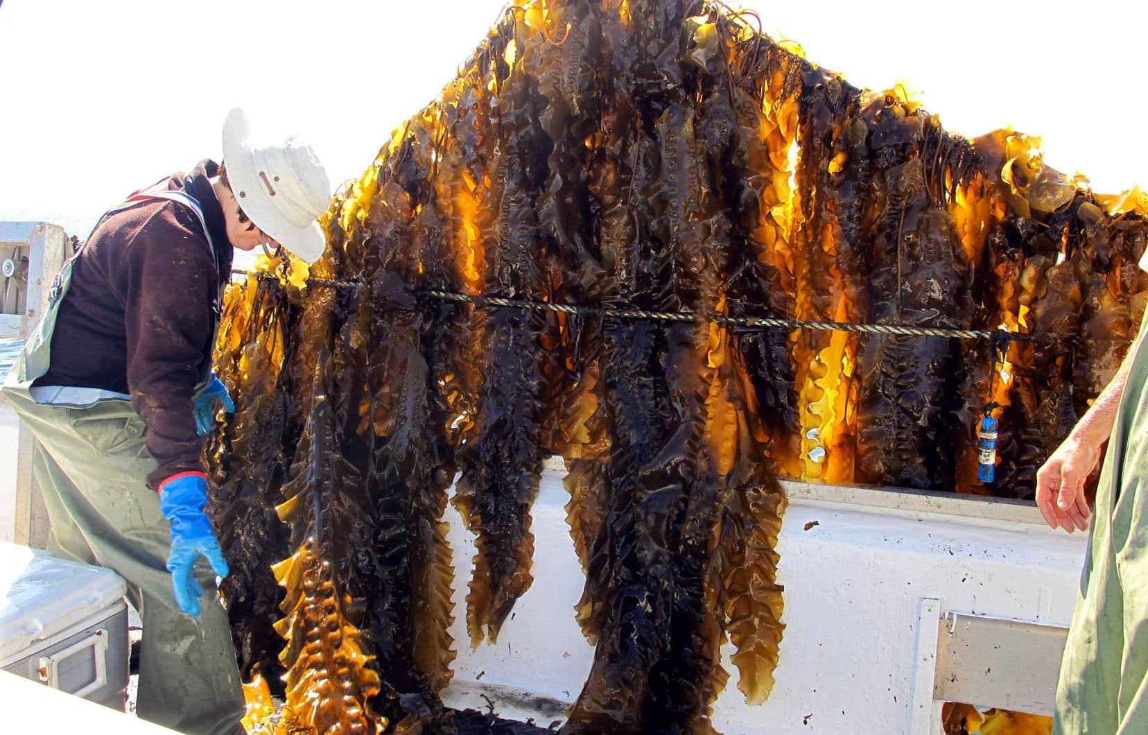 Après avoir poussé tout l'hiver, les algues matures ressemblant à des lasagnes sont prêtes à être récoltées au mois de juin.