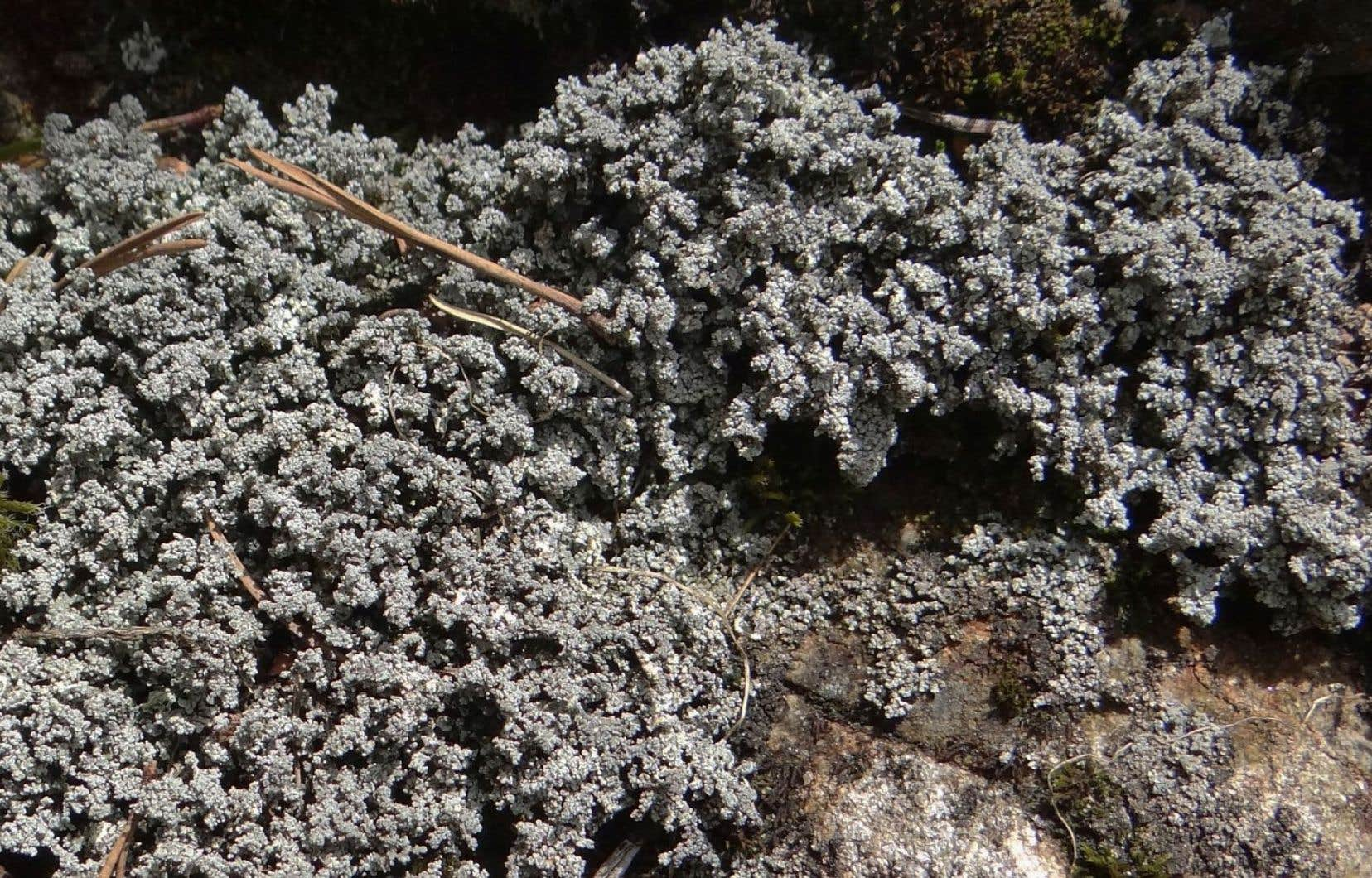 Le lichen en question, appelé «Stereocaulon paschale», se trouve dans les régions subarctiques et arctiques, mais aussi sur certains hauts sommets en Gaspésie et dans Charlevoix.