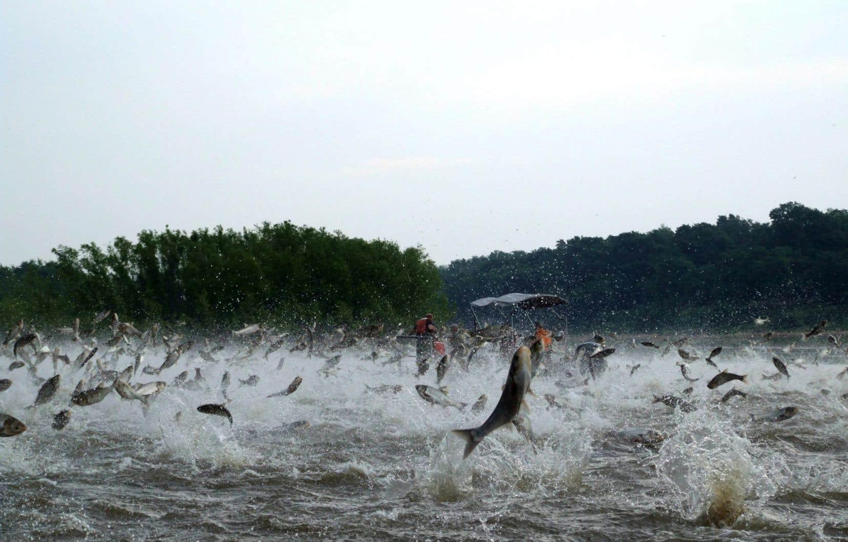 Des carpes argentées dans la rivière Illinois, aux États-Unis, en décembre 2009. Les carpes représentent, à certains endroits de ce cours d'eau, plus de 90% de la biomasse animale.