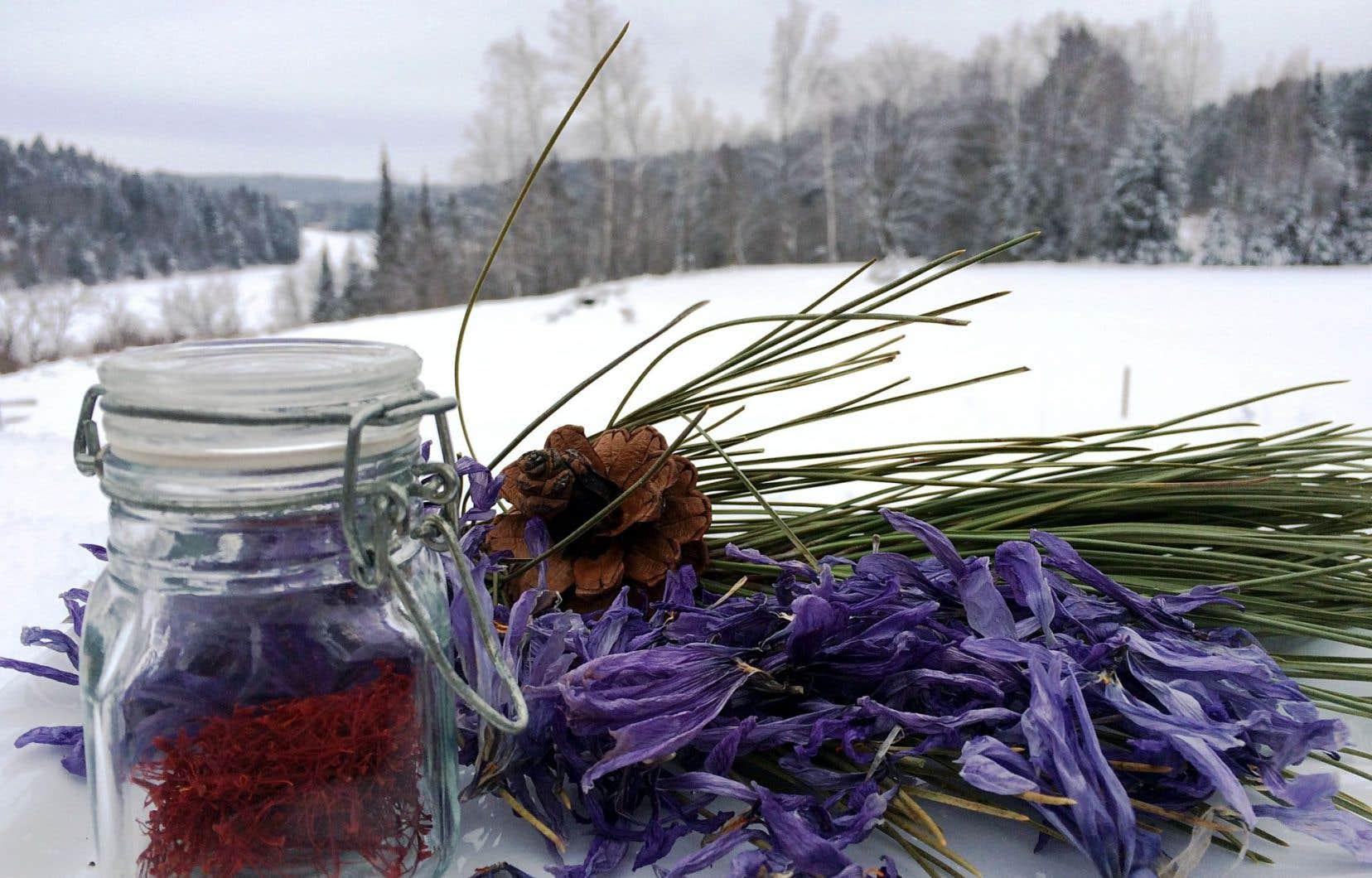 Sous le couvert de neige, les bulbes de safran attendent. Cette plante croît l'hiver, est en dormance l'été et fleurit à l'automne.