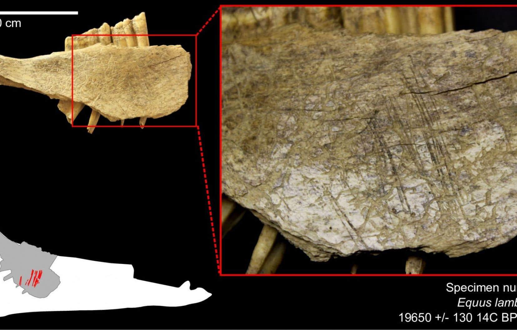 Mandibule de cheval provenant du site des grottes du Poisson-Bleu, dans le Yukon. Il contient de nombreuses traces de découpes droites et parallèles, qui indiquent un prélèvement de chair effectué à l'aide d'un outil de pierre taillé.