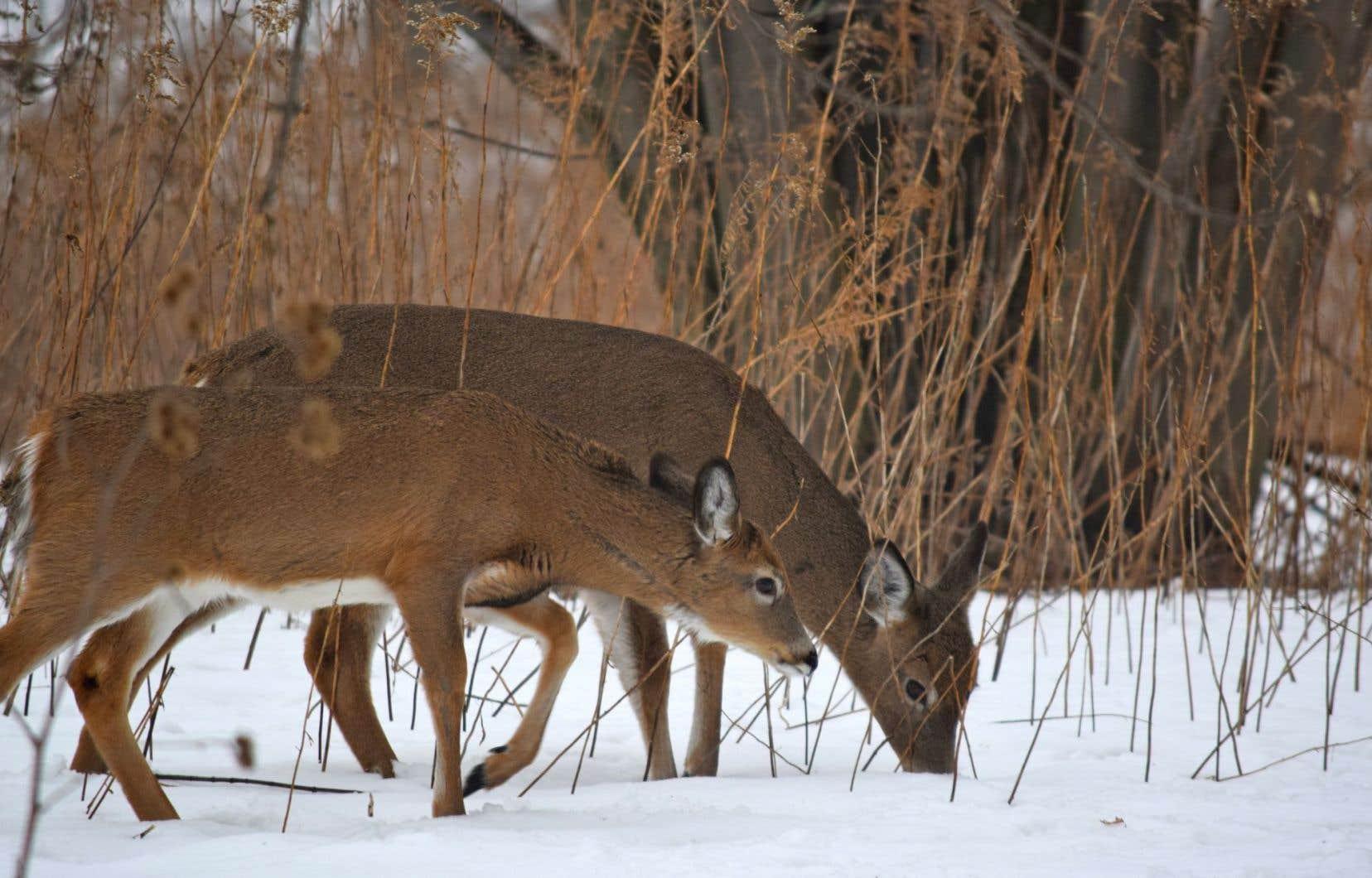 Le terrain racheté par le gouvernement du Québec est déjà fréquenté par la faune du parc national, dont les cerfs de Virginie.