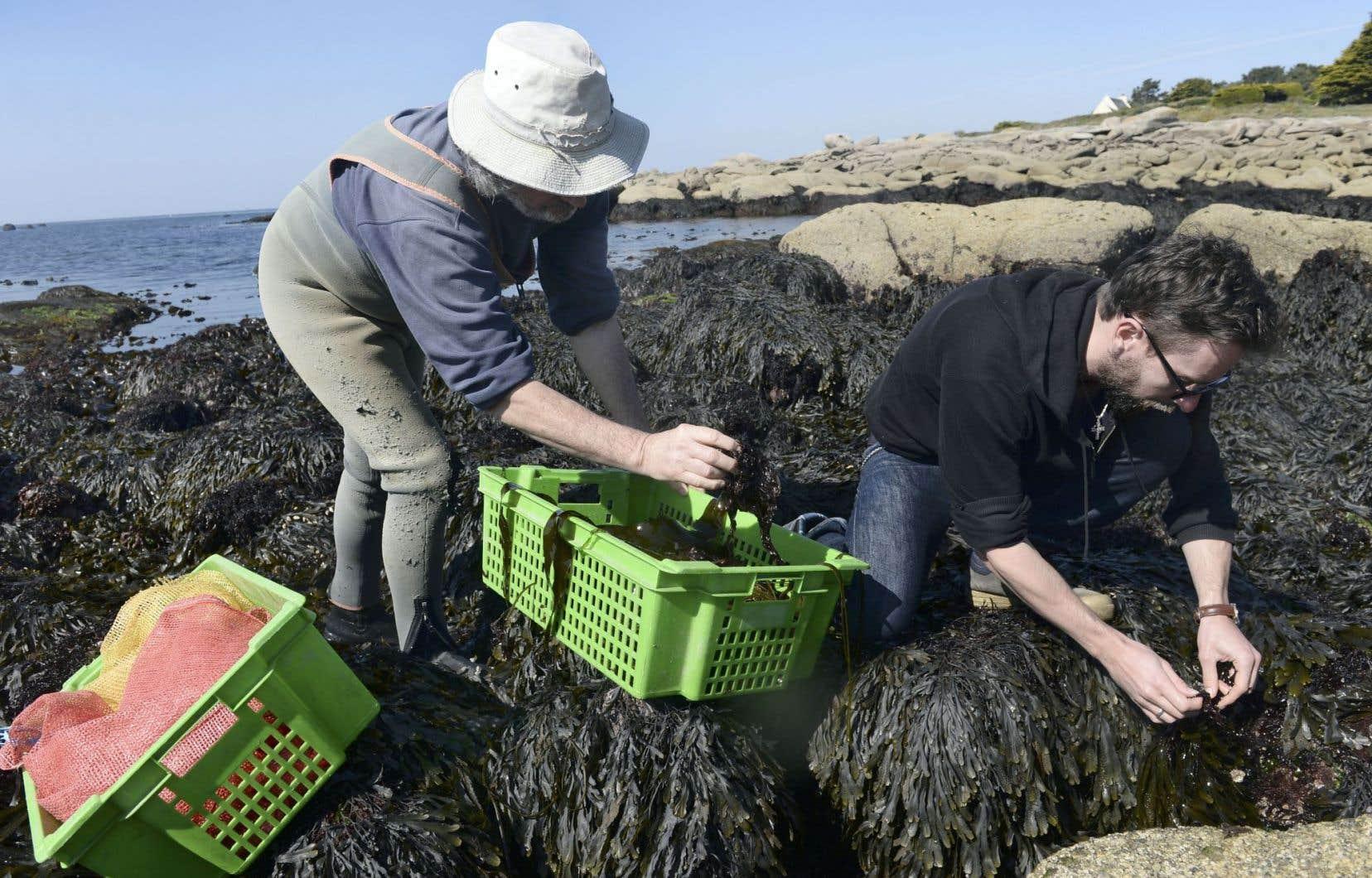 L'algoculteur breton André Berthou (à gauche) en pleine récolte d'algues, ce produit qui passionne de plus en plus les consommateurs à la recherche de produits naturels pour varier leur alimentation.