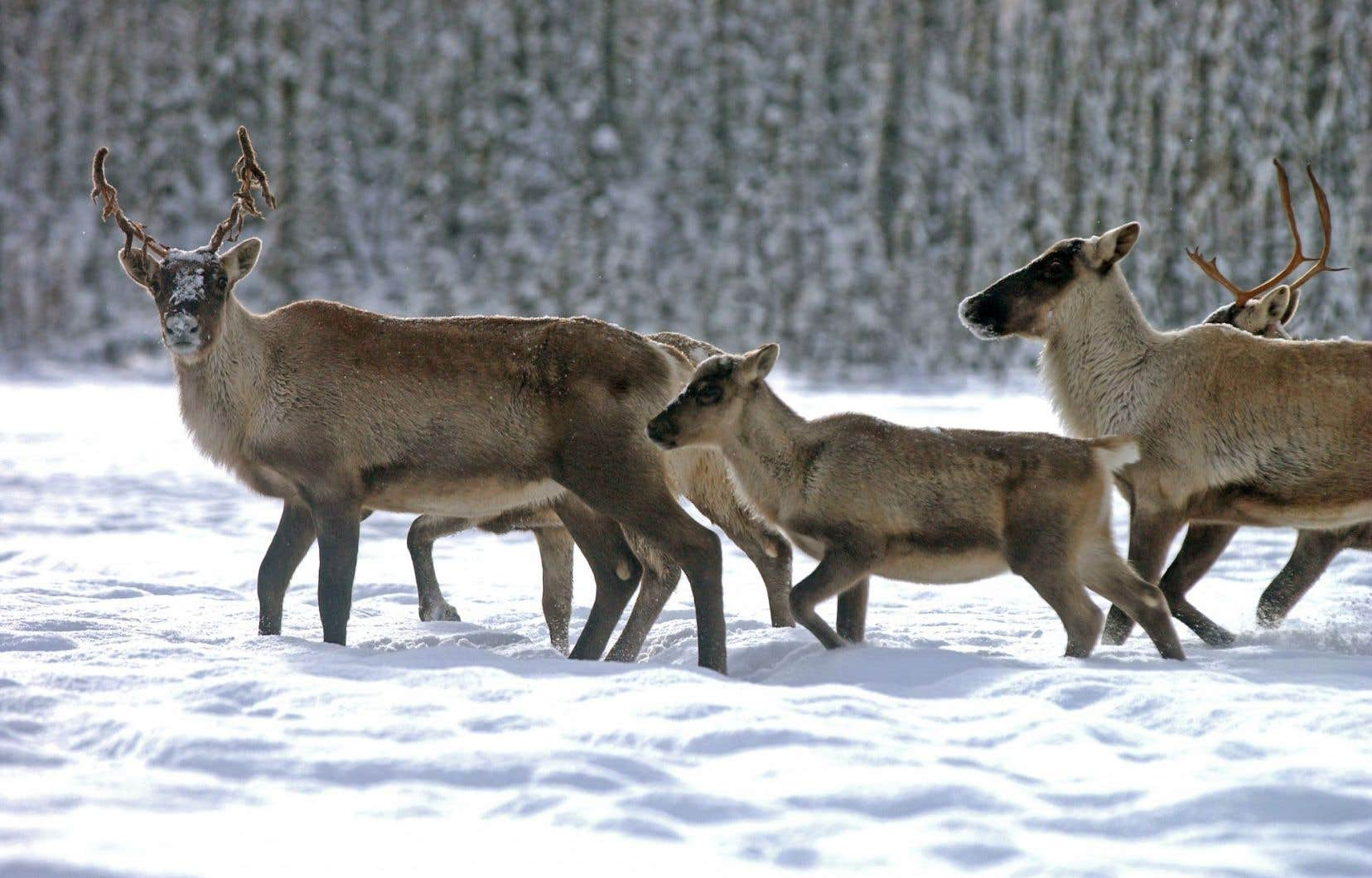 Des caribous en route vers le sud