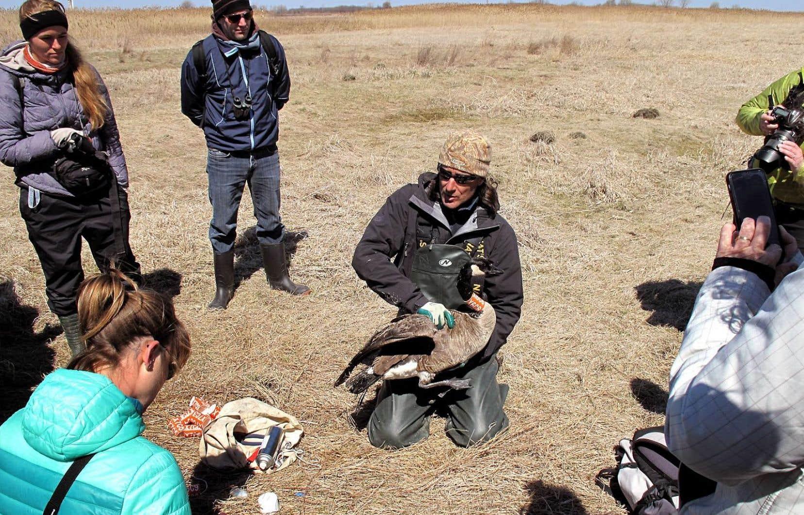 Le Cœur des sciences de l'UQAM organise des excursions pour observer les bernaches en compagnie de chercheurs.