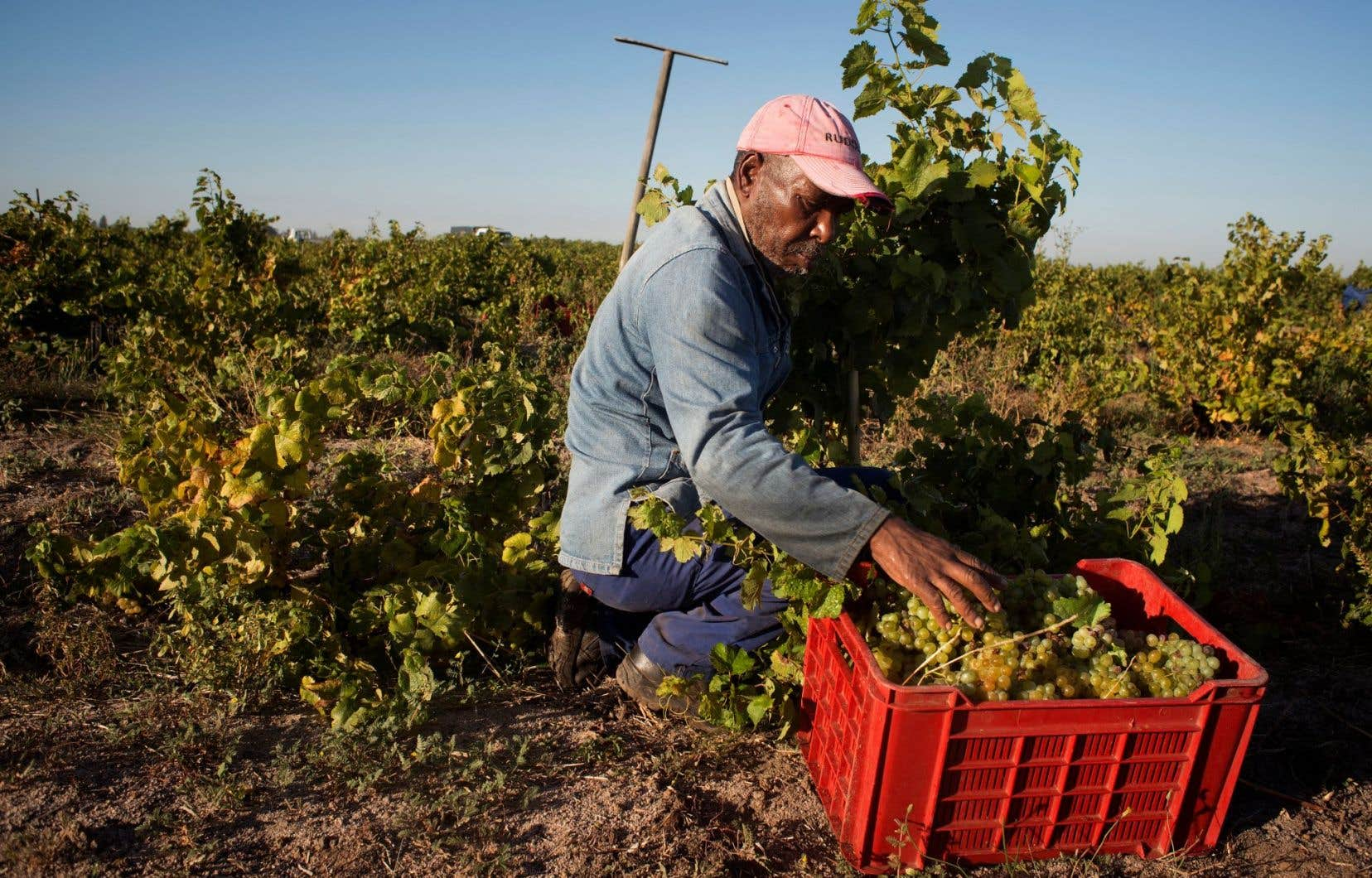 Un travailleur à l'œuvre dans le vignoble de Ken Forrester, àStellenbosch