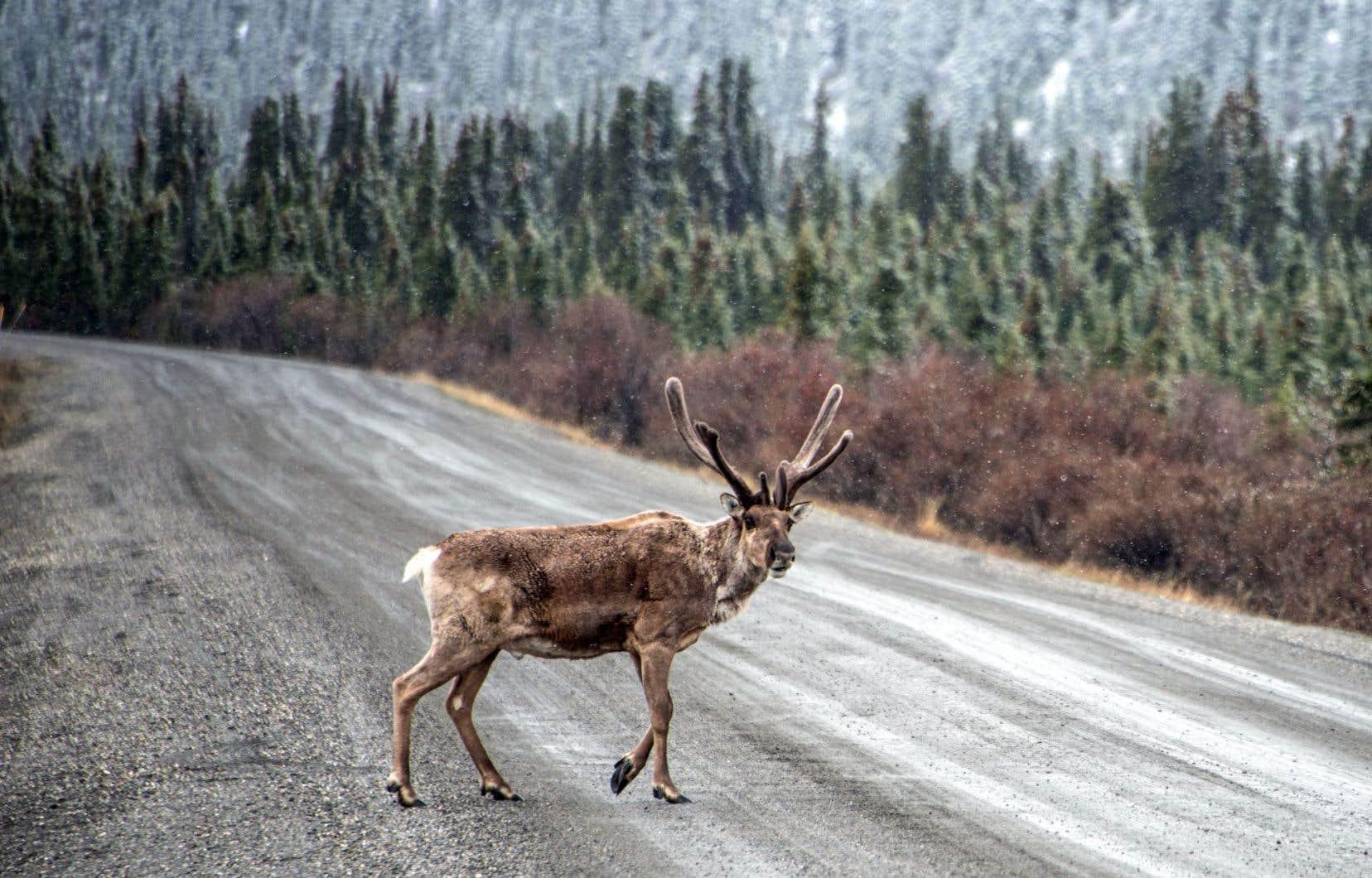 Ottawa a conféré au caribou migrateur le statut d'espèce en voie de disparition, mais le Québec ne voit pas la nécessité de faire de même.