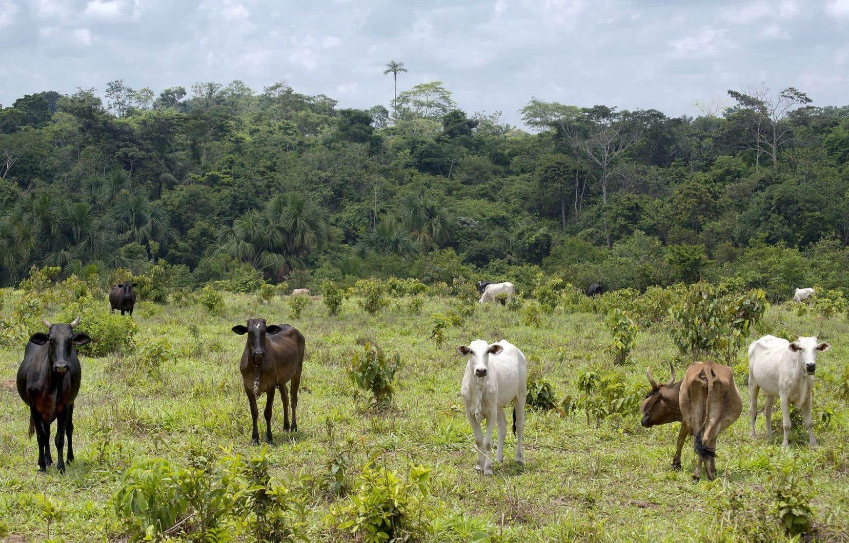 Des pans entiers de la forêt sont détruits au profit de l'élevage extensif de bovins, notamment.