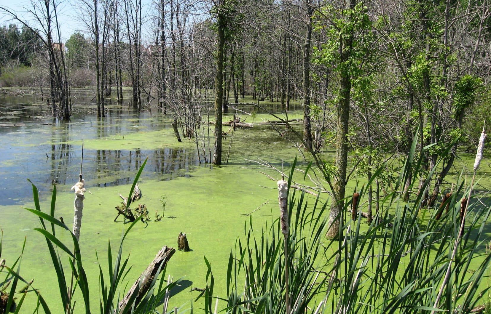 Au fil des ans et des développements, de nombreux milieux humides ont été perturbés quand ils n'ont pas carrément disparu.