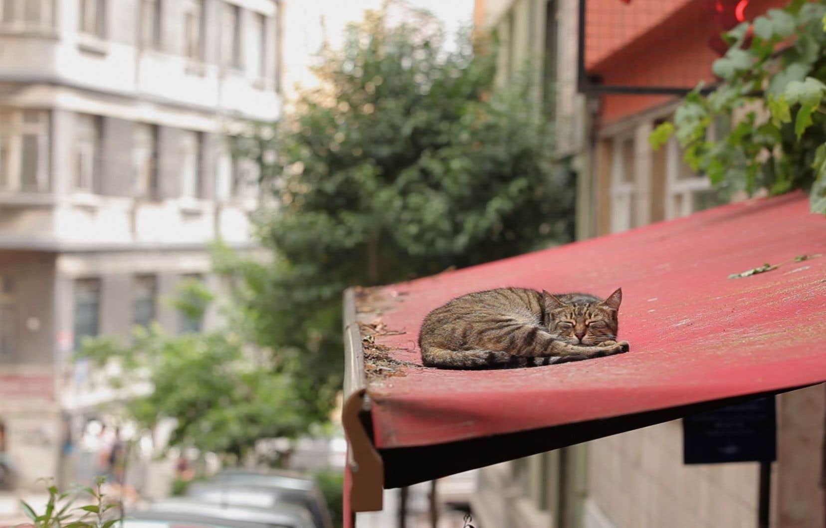 À Istanbul, les chats sont considérés comme des symboles culturels.