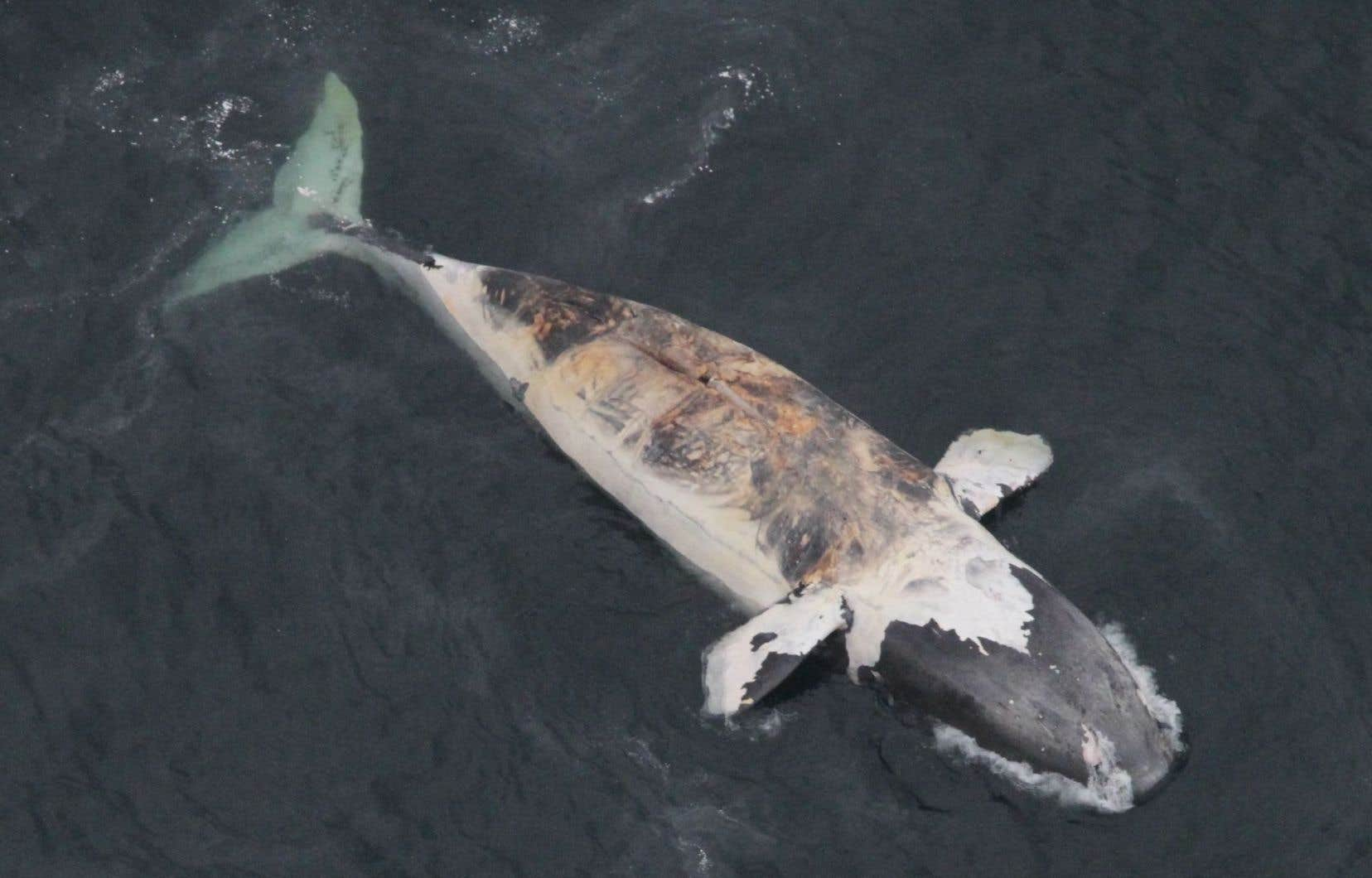 La baleine noire de l'Atlantique nord est classée «en voie de disparition» par le gouvernement canadien.
