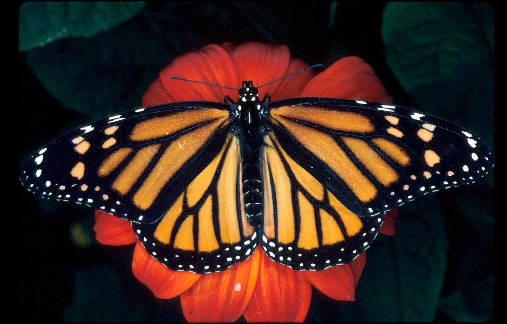 Le monarque est considéré comme une espèce en voie de disparition.