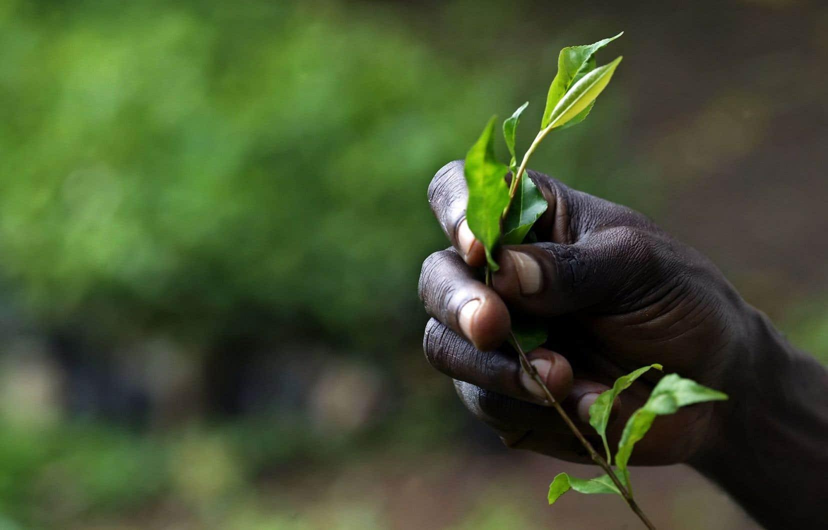 Un paysan ougandais cultive des plantes médicinales près de la forêt de Mabira, dans le centre du pays.