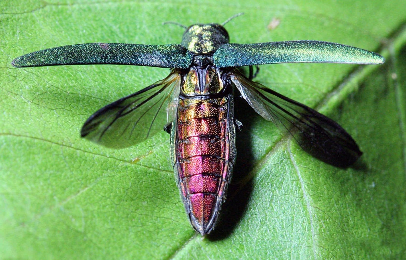 L'agrile du frêne est un insecte ravageur qui s'immisce entre l'arbre et son écorce.